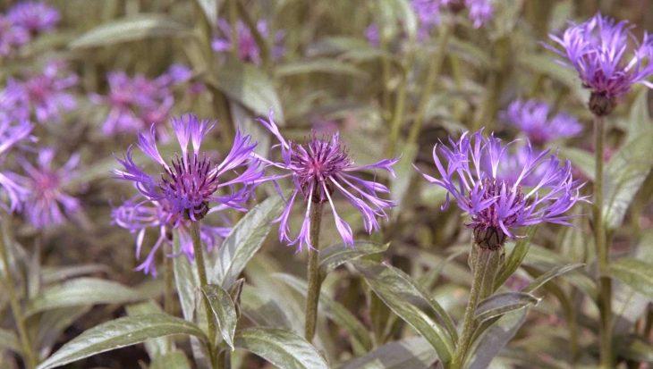 Centaurea montana 'Coerulea'