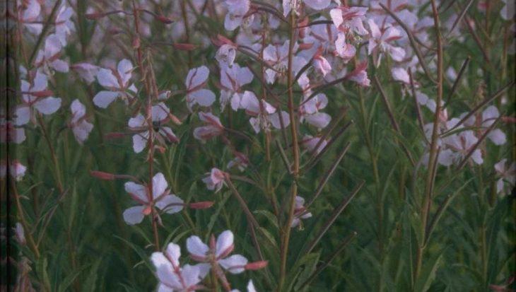 Chamerion angustifolium 'Stahl Rose'