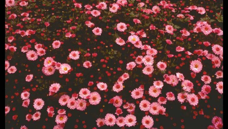 Dendranthema 'Anja's Bouquet'