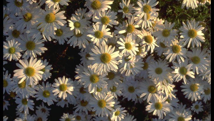 Arctanthemum arcticum