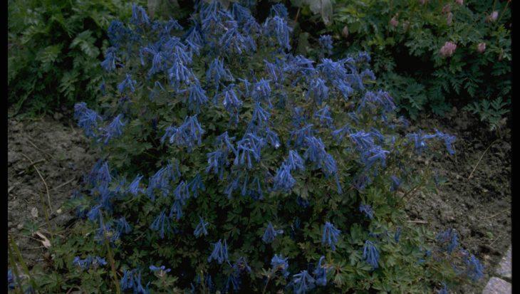 Corydalis flexuosa