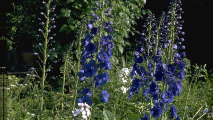 Delphinium 'Blauwal'