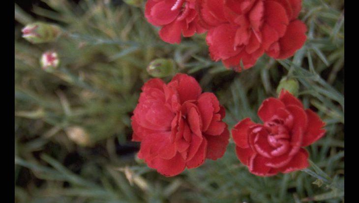 Dianthus 'Desmond'