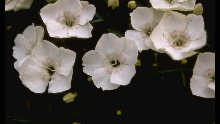 Dianthus alpinus 'Albus'