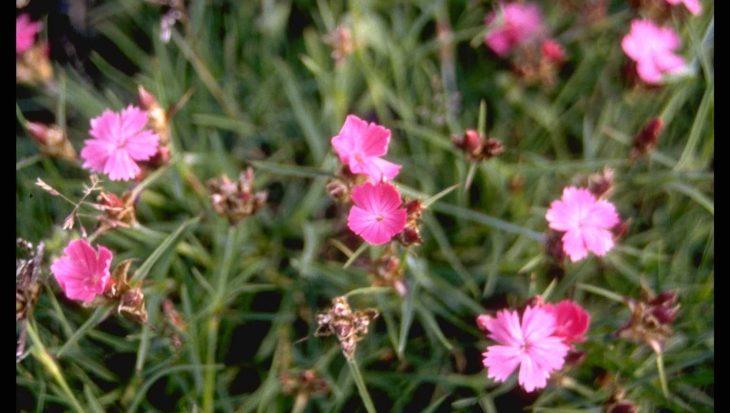 Dianthus carthusianorum var. humilis
