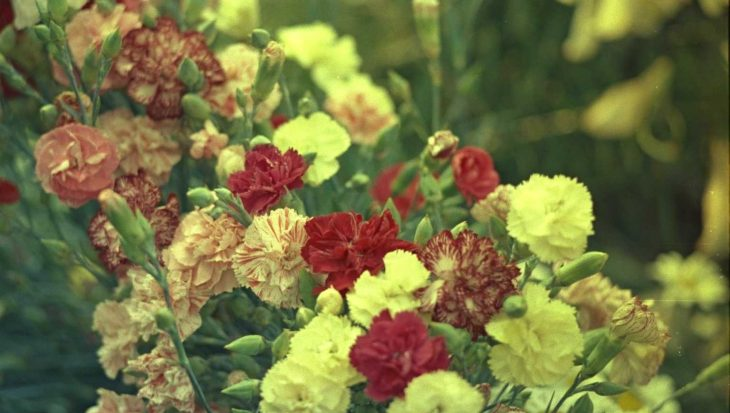 Dianthus caryophyllus 'Wenerdwerg'