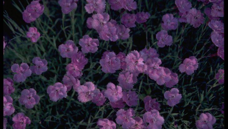 Dianthus gratianopolitanus 'Pink Jewel'