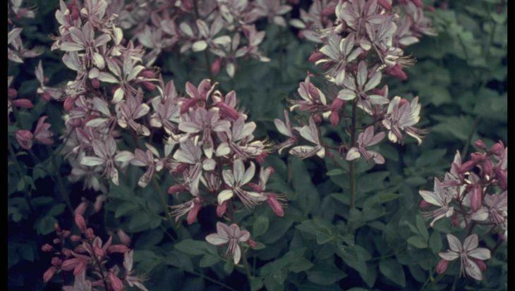 Dictamnus albus