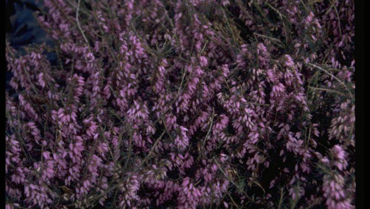Erica carnea 'Pink Spangles'