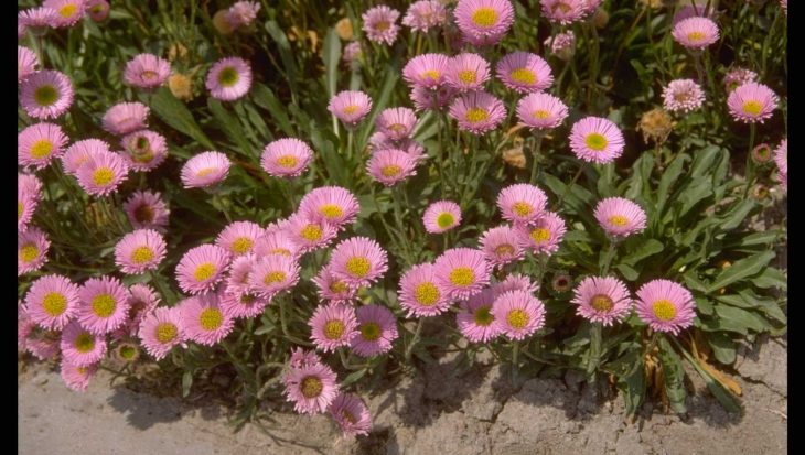 Erigeron 'Four Winds'