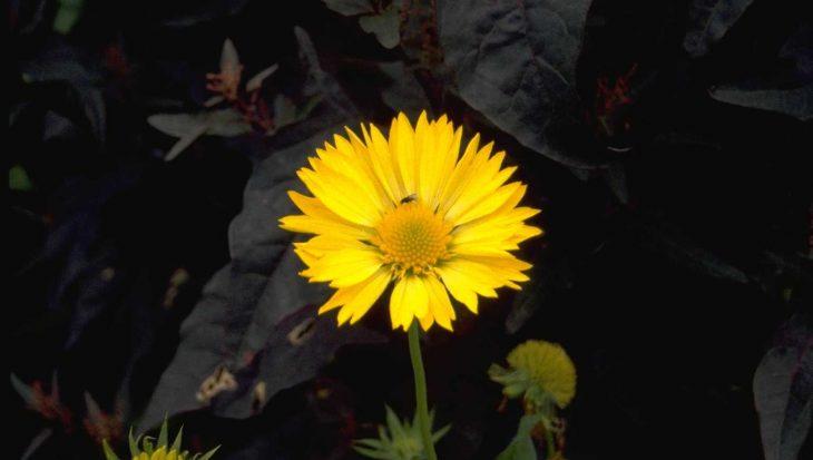 Gaillardia 'Aurea Pura'