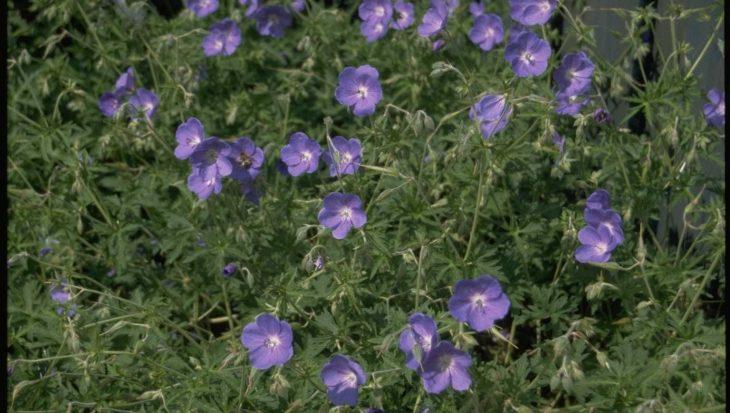 Geranium 'Brookside'