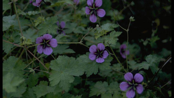 Geranium 'Salom