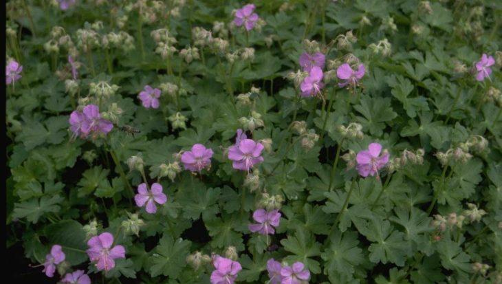 Geranium x cantabrigiense 'Andrew Clarke'