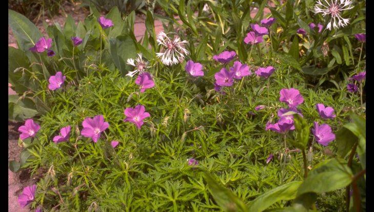 Geranium clarkei 'Kashmir Purple'