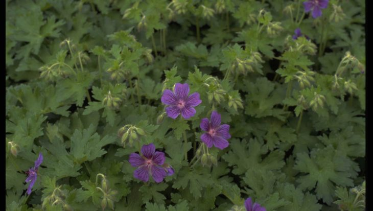Geranium ibericum