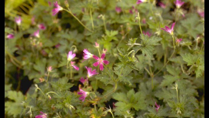 Geranium x oxonianum 'Thurstonianum'