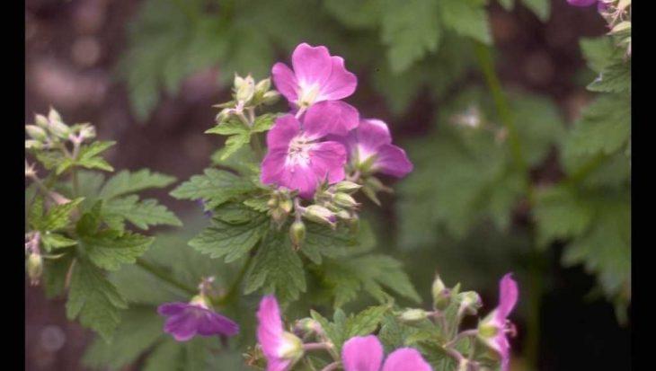 Geranium sylvaticum 'Silva'