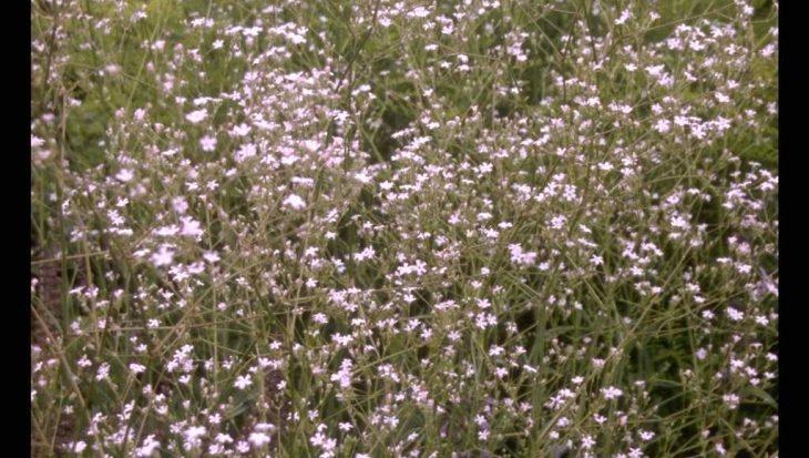 Gypsophila pacifica