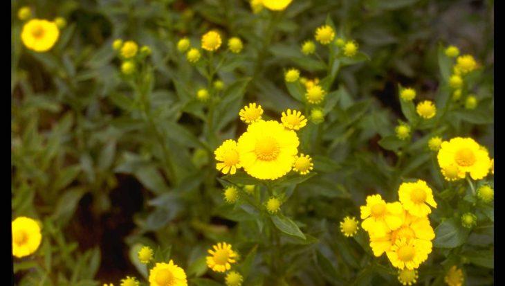 Helenium 'Kanaria'