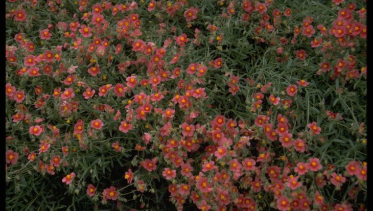 Helianthemum 'Dompfaff'
