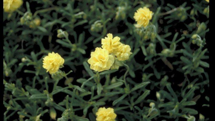 Helianthemum 'Sulphureum Plenum'