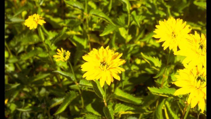 Heliopsis helianthoides 'Goldgr?nherz'