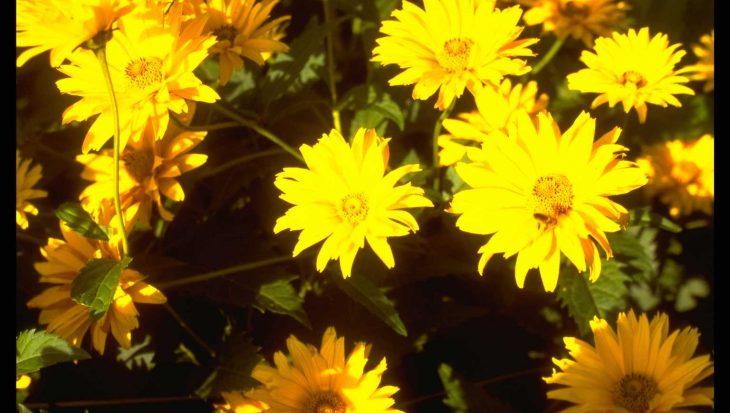 Heliopsis helianthoides 'Spitzent?nzerin'