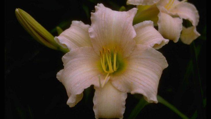 Hemerocallis 'Luxury Lace'