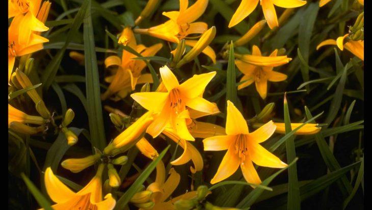 Hemerocallis 'Orangeman'