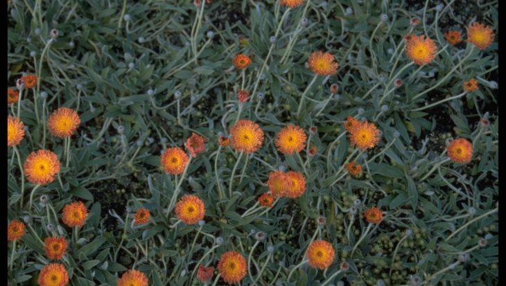 Hieracium pilosella 'Kupferteppich'