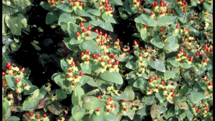 Hypericum x inodorum 'Excellent Flair'
