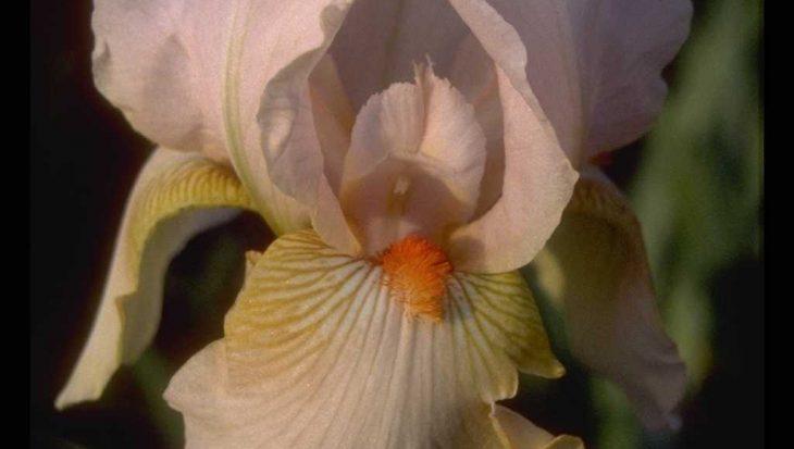 Iris 'Constant Wattez'