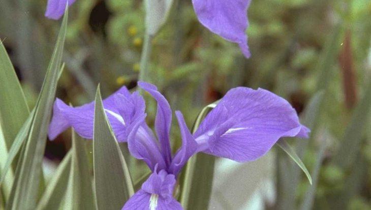 Iris 'Joanna'