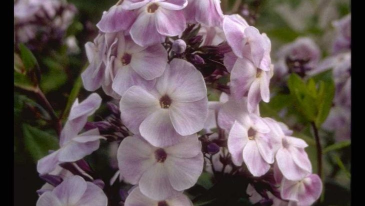 Phlox 'Violetta Gloriosa'