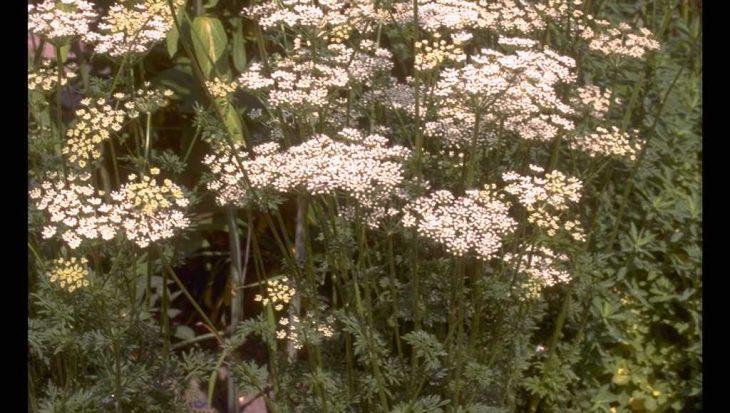 Selinum carvifolia