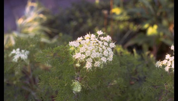 Selinum tenuifolium