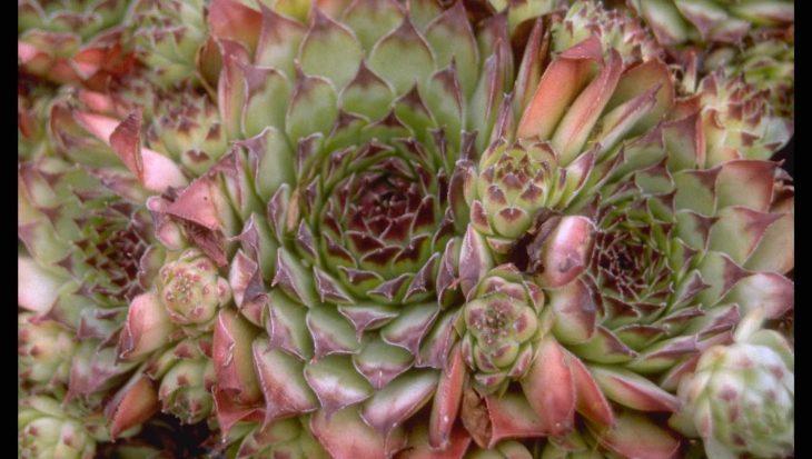 Sempervivum tectorum 'Bicolor'