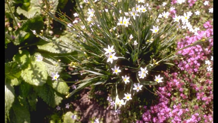 Sisyrinchium 'Mrs Spivey'
