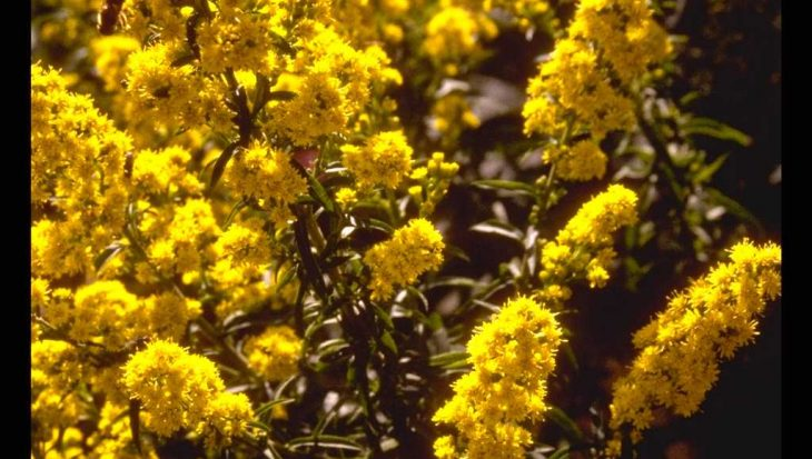 Solidago 'Septembergold'
