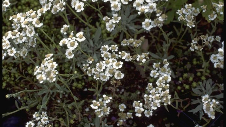 Achillea clavennae subsp. integrifolia