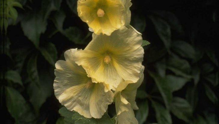 Alcea rosea geel