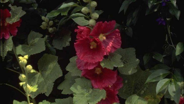 Alcea rosea rood
