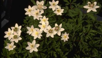 Anemone nemorosa 'Green Fingers'