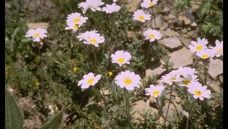 Anthemis carpatica