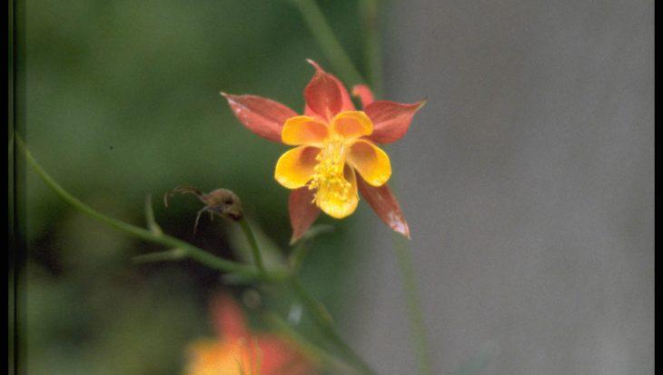 Aquilegia formosa var. truncata
