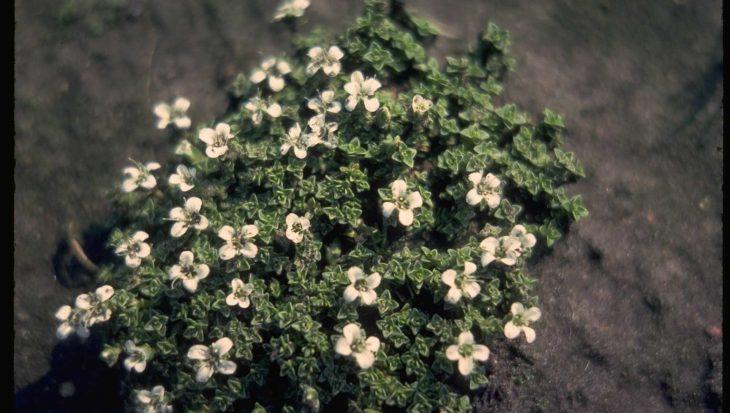 Arenaria tetraquetra