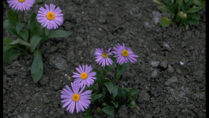 Aster tongolensis 'Berggarten'