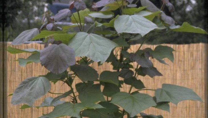 Catalpa x erubescens 'Purpurea'