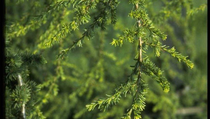 Cedrus libani subsp. brevifolia